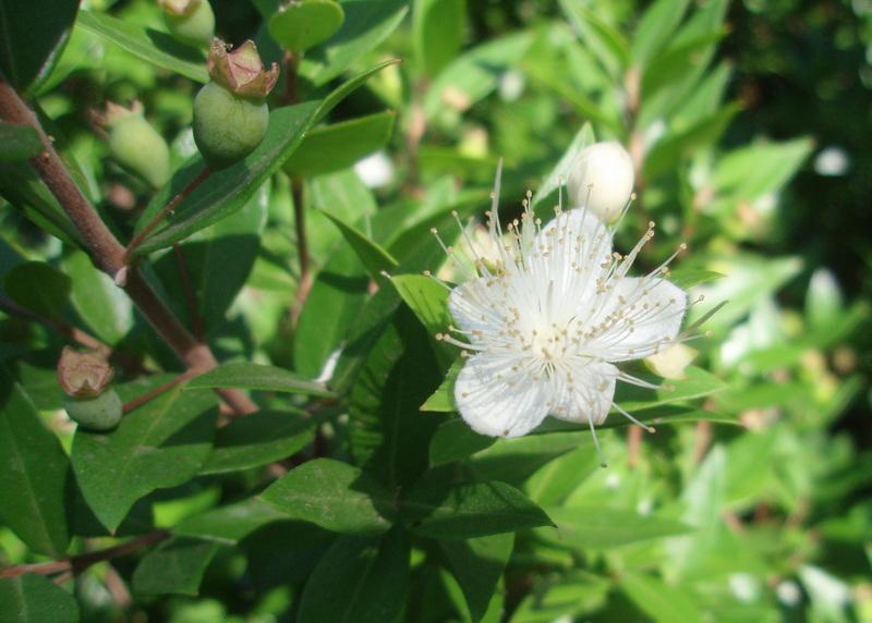 26- Myrtus communis
