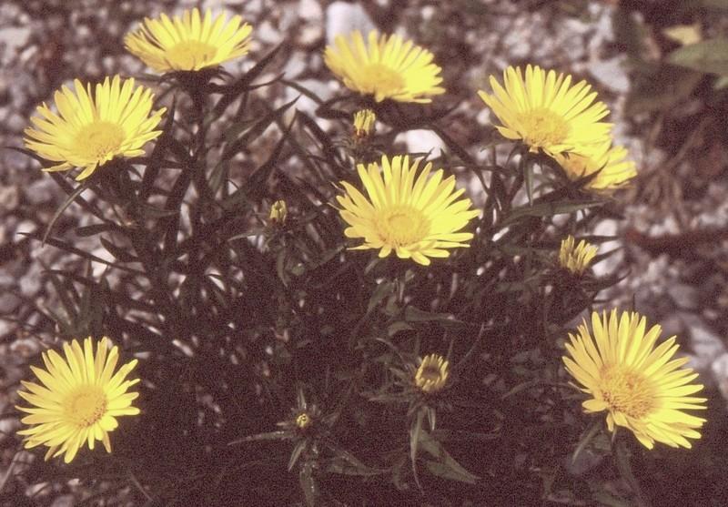 28- JU Inula ensifolia