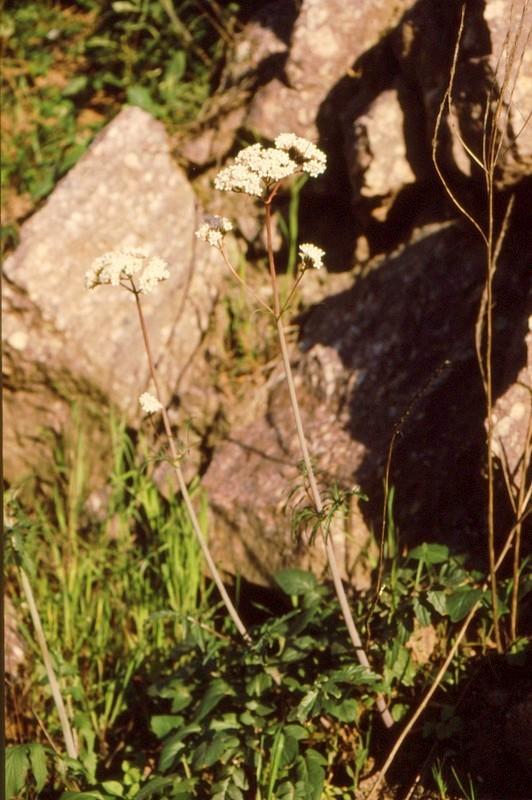 32- JU Valeriana dioscoridis