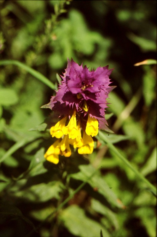 33- JU Melampyrum hermanianum