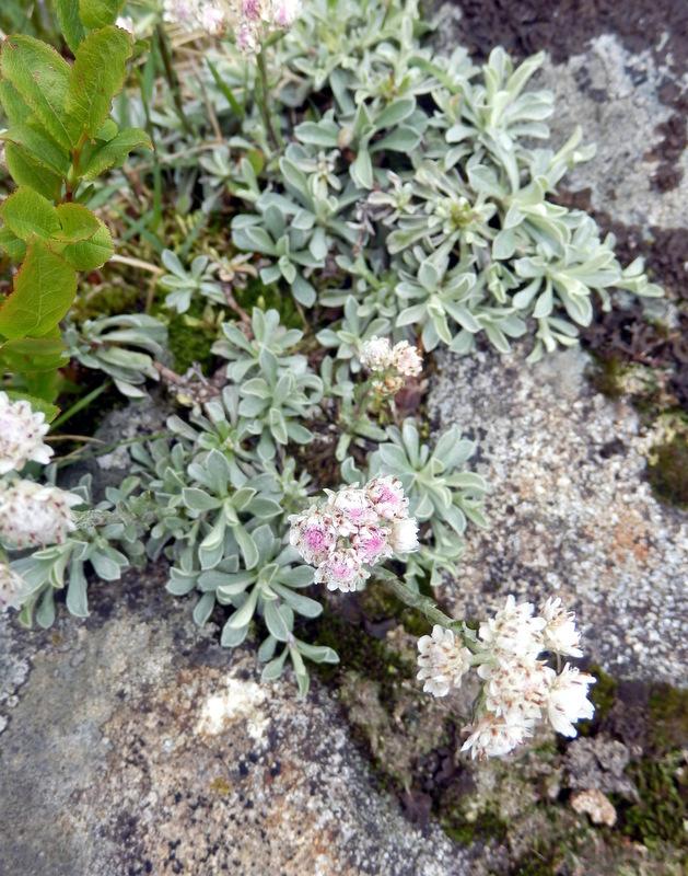 34-Antennaria dioica