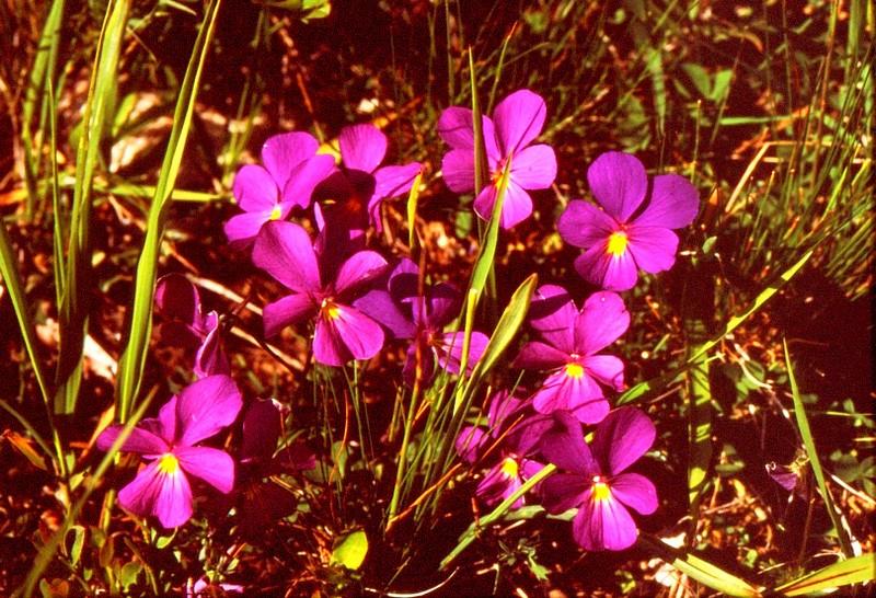 36- JU Viola calcarata ssp zoizii