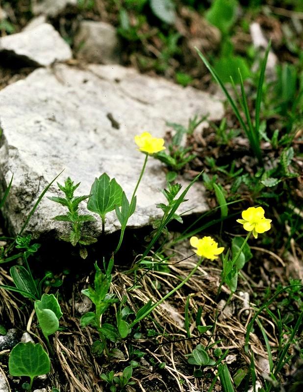 41-Ranunculus thora