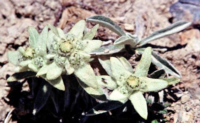 46-Leontopodium alpinum