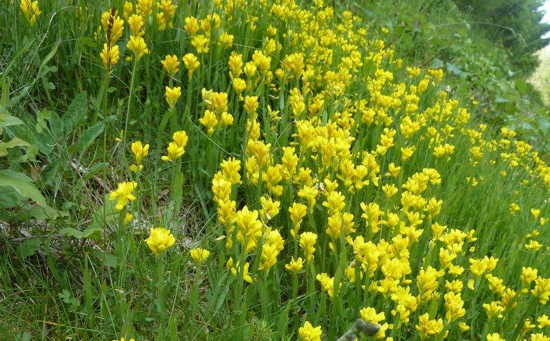 Chamaespartium sagittalis 27-06-2010 22-00-20