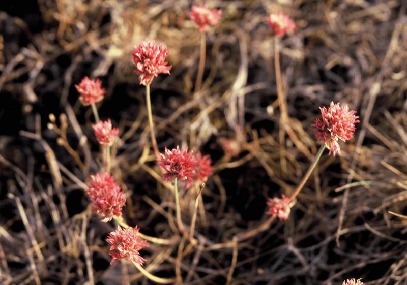 024 Allium schoenoprasum