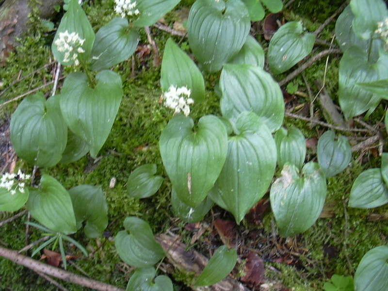 026 Maianthemum bifolium