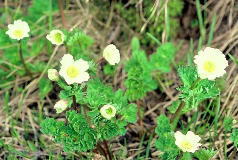 03-Callianthemum coriandrifolium