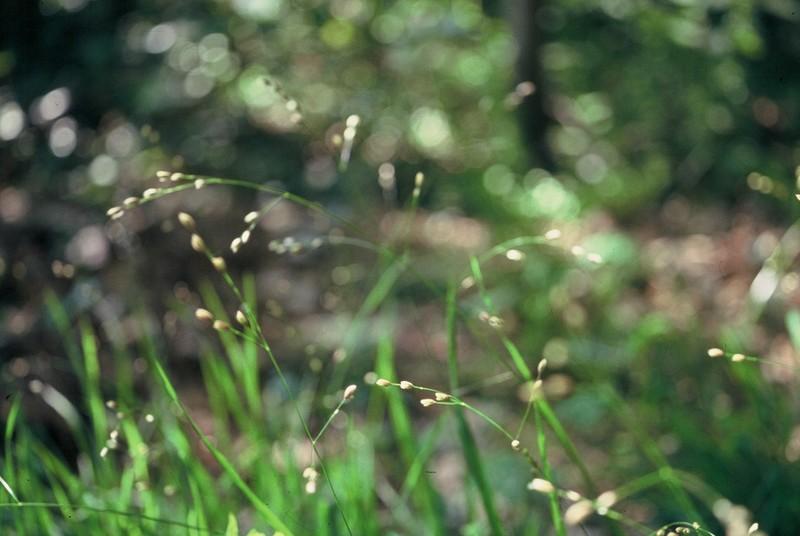 030 Melica uniflora