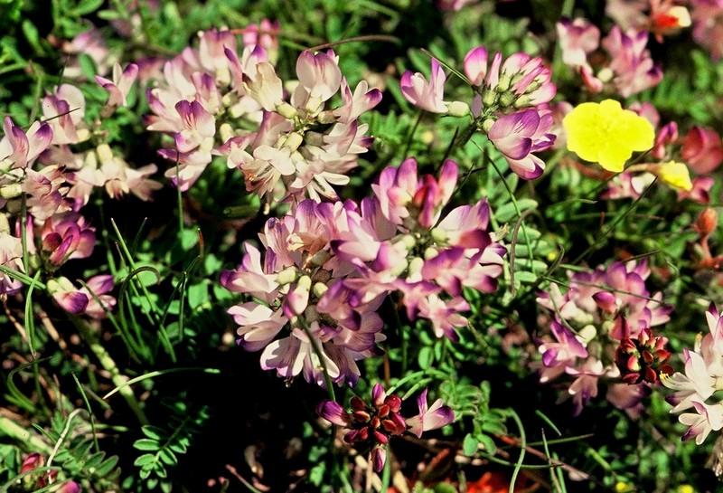 034 Astragalus alpinus
