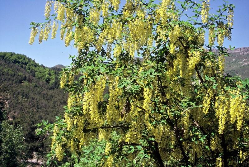 06-Laburnum alpinum
