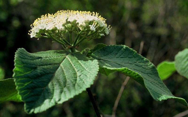 10-Viburnum lantana