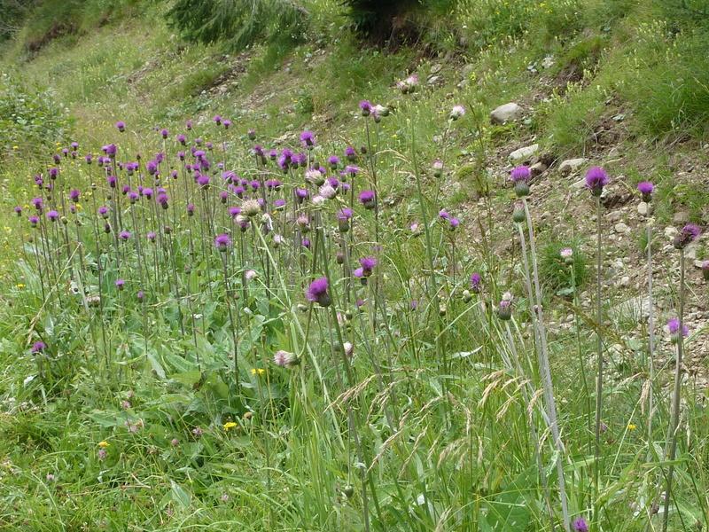 18- Cirsium pannonicum