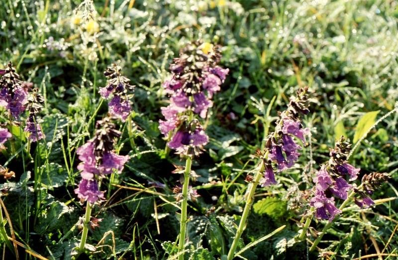 19-Horminum pyrenaicum