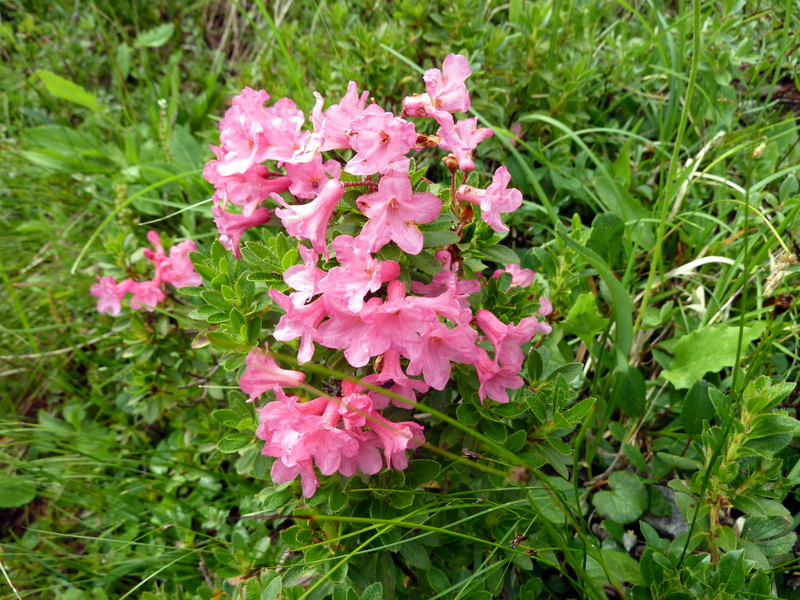 23-Rhododendron hirsutum