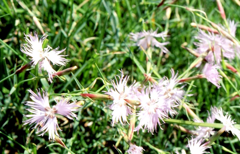 24-Dianthus sternbergii