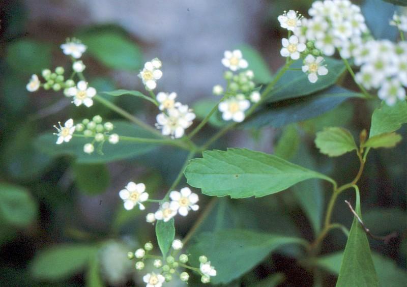 26-Spiraea decumbens subsp hacquetii