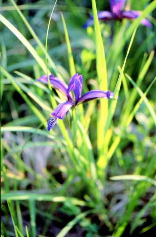 27-Iris graminea