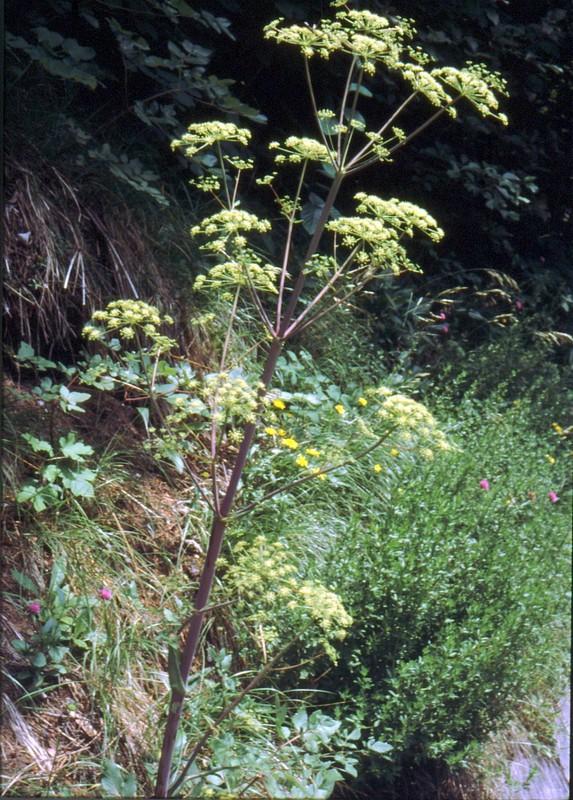 28- Peucedanum verticillare
