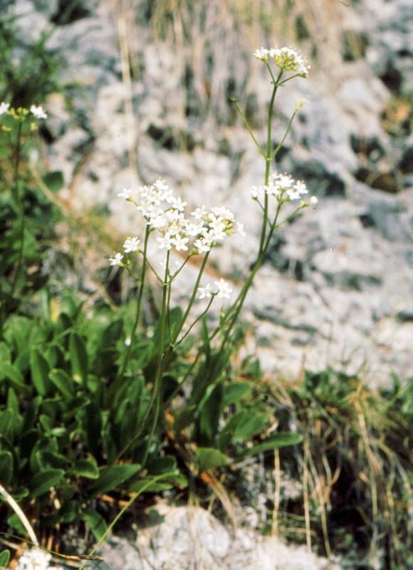 30- Valeriana saxatilis