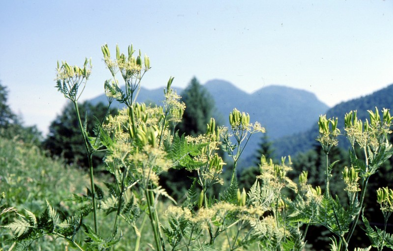 34-Myrrhis odorata
