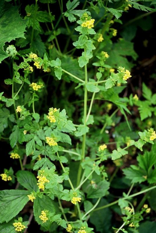 36-Tozzia alpina