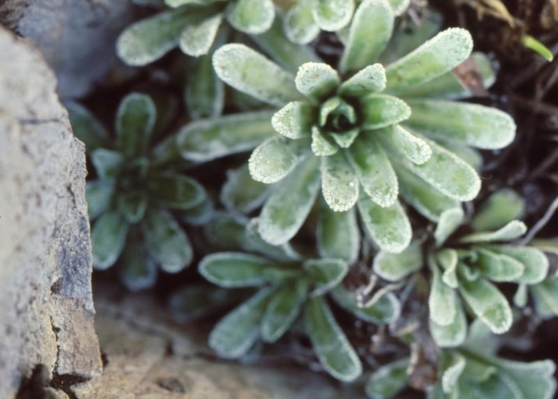 41- Rosettes de Saxifraga crustata