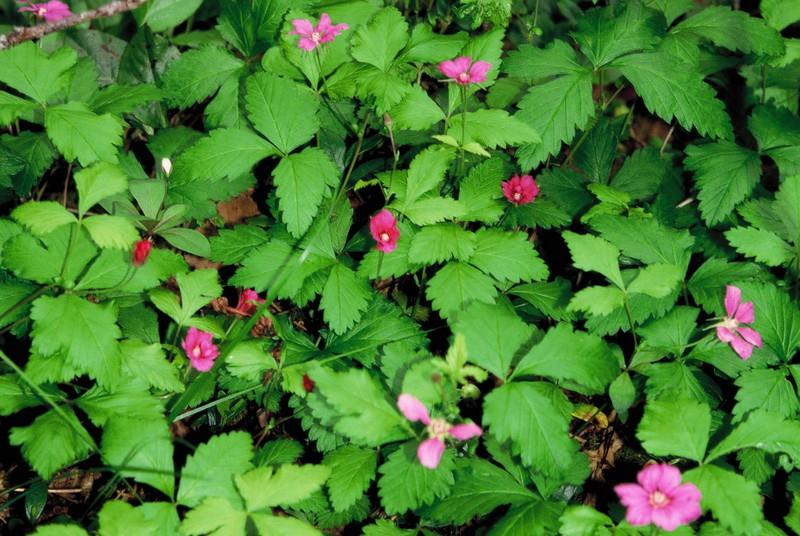 006- Rubus arcticus au Muddus NP