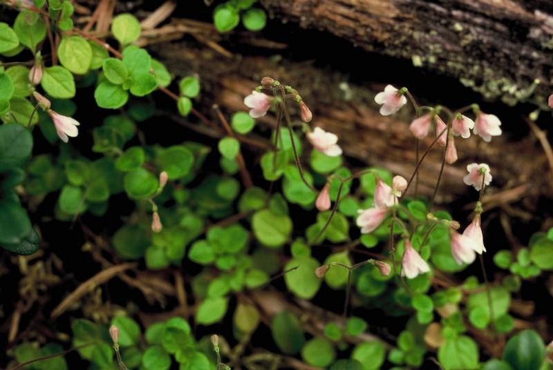 007-Linnaea borealis au Muddus NP