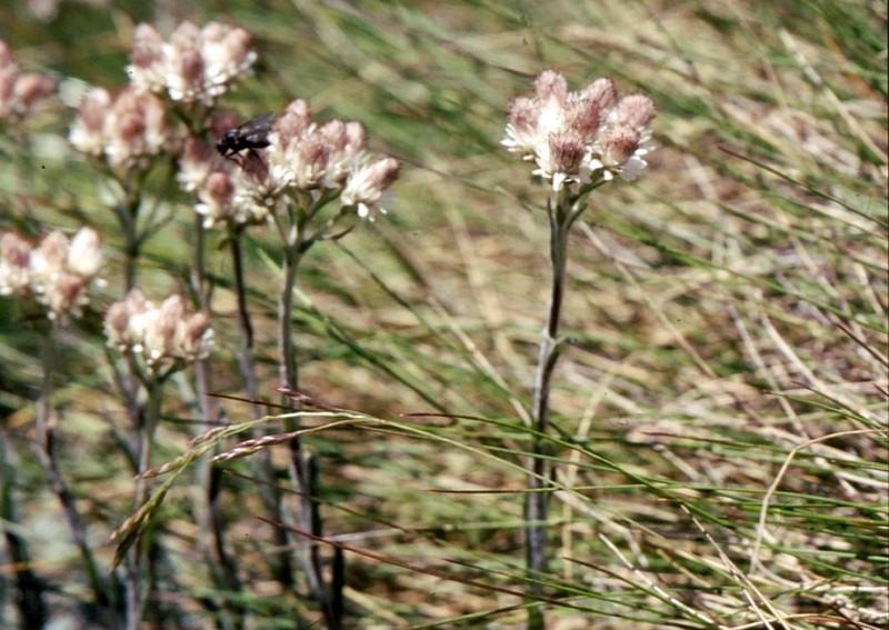 008- Antennaria dioica