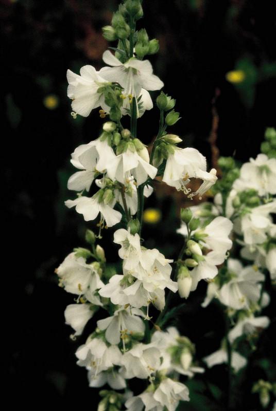 013-Polemonium caeruleum blanc