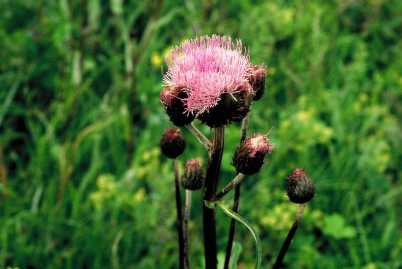 015- Cirsium heterophyllum