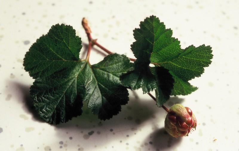 019- Rubus chamaemorus en fruits