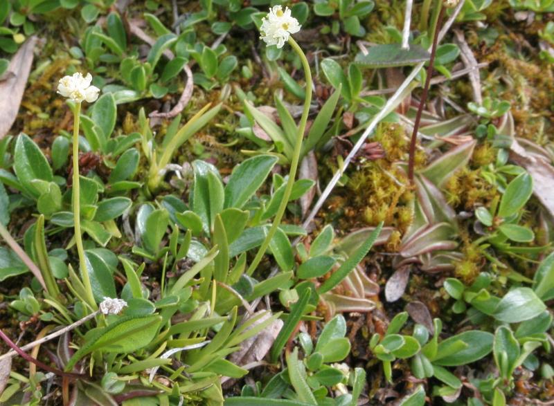 Tofieldia pusilla (Michaux) Pers. subsp. pusilla