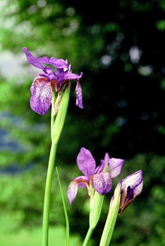 02 Iris sibirica