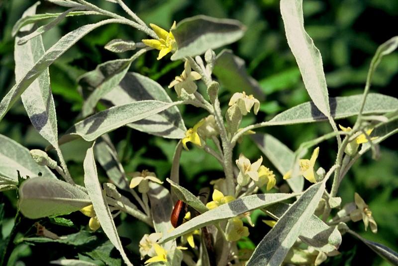 03 Eleagnus angustifolius