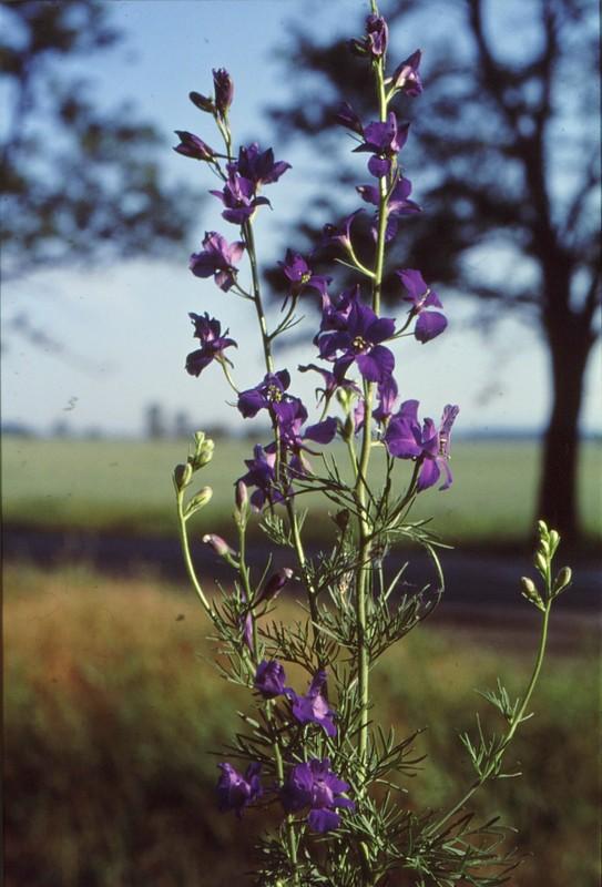 05 Delphinium orientalis