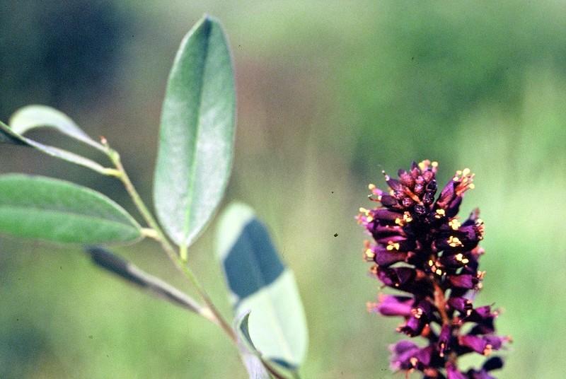 09 Amorpha fruticosa