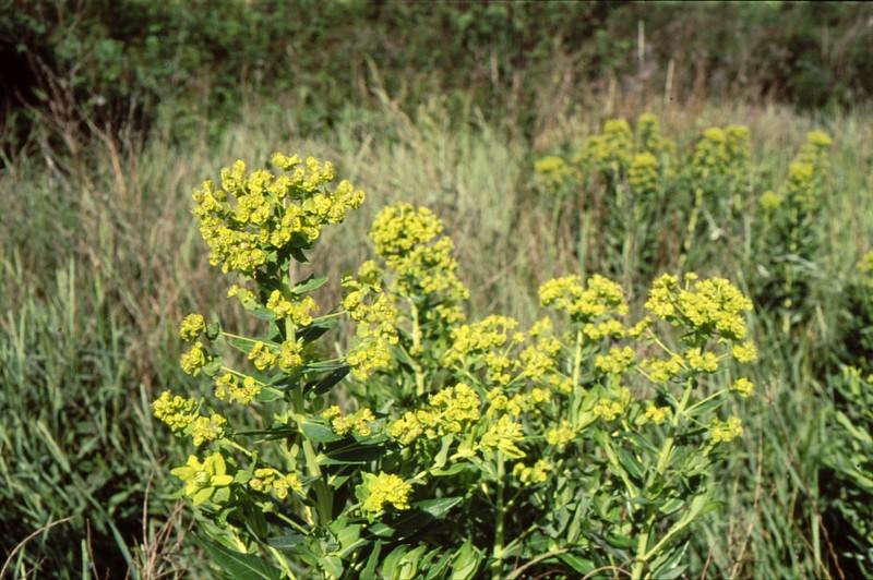 10 Euphorbia lucida