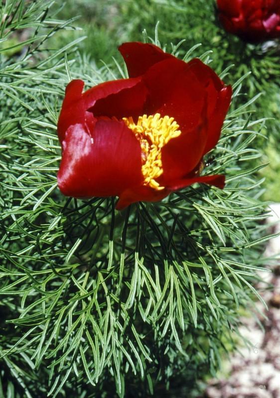 1993 03 Paeonia tenuifolia au jardin bota de Cluj Napoca
