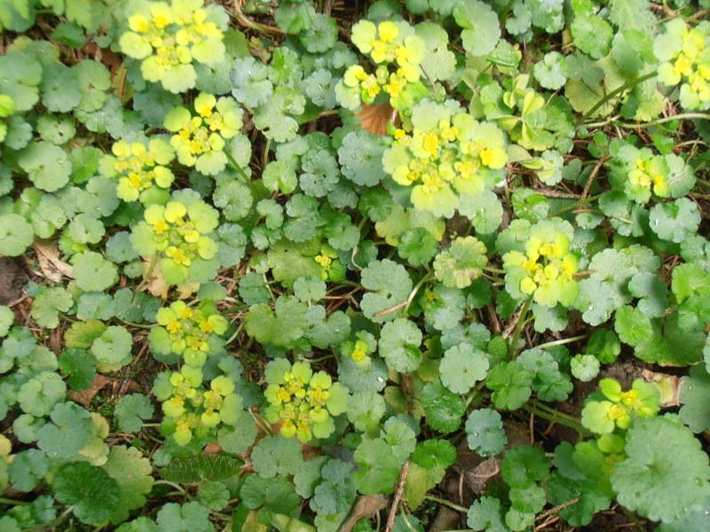 1993 45 Chrysosplenium alternifolium