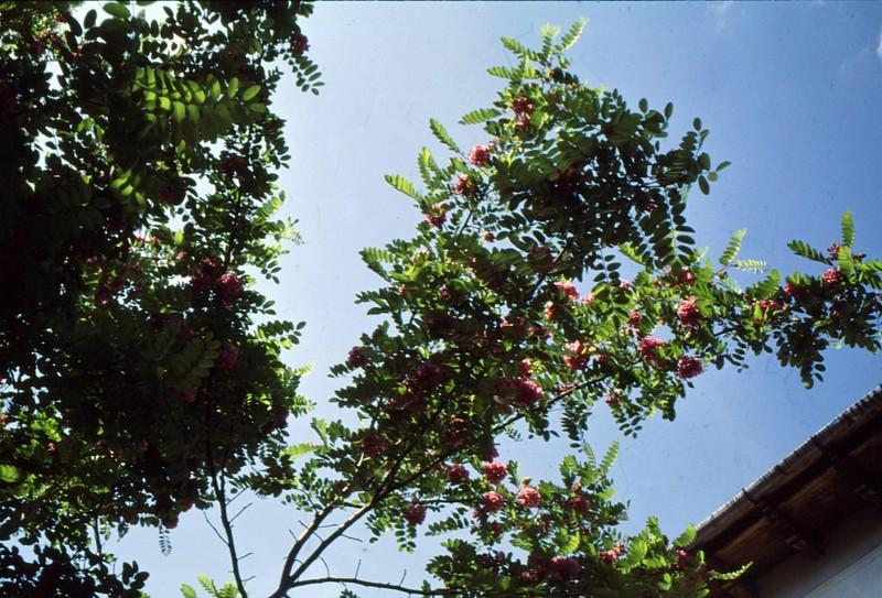 1993 53 Acacia rose
