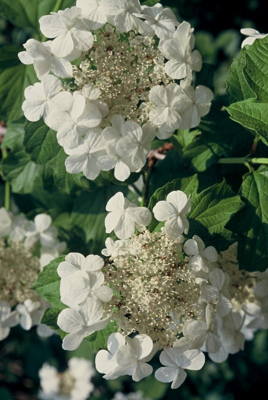 1993 57 Viburnum opalus