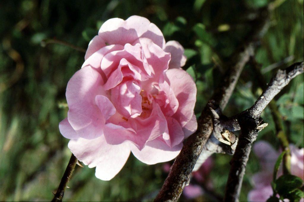03-rose-pour-essence