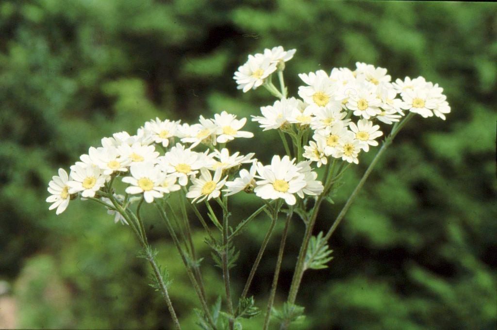05-tanacetum-macrophyllum