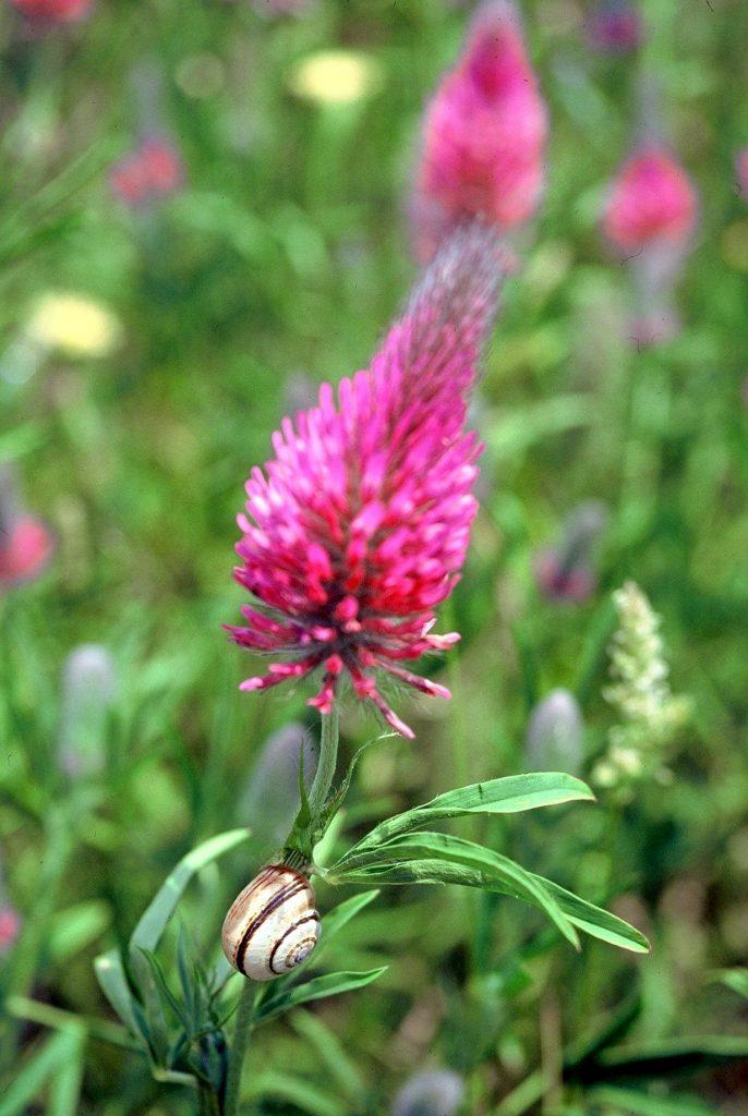 09-trifolium-purpureum2