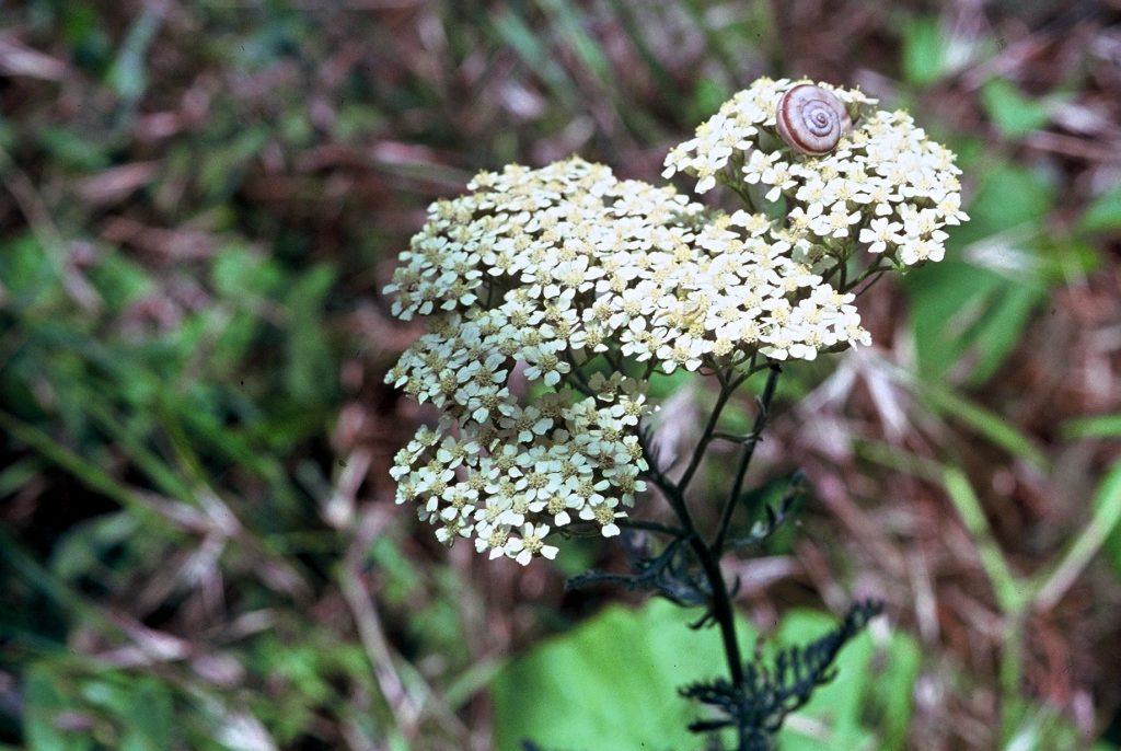 10-achillea-crithmifolia