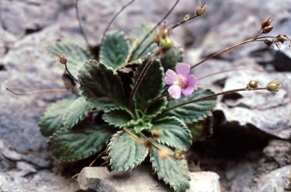 12-haberlea-rhodopensis
