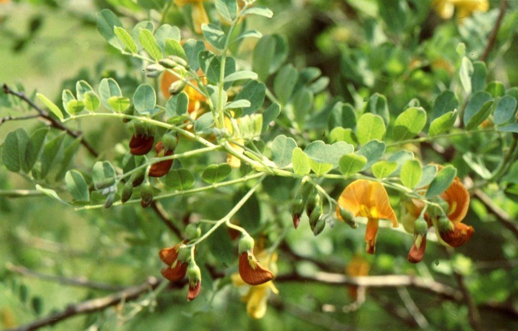 13-colutea-orientalis