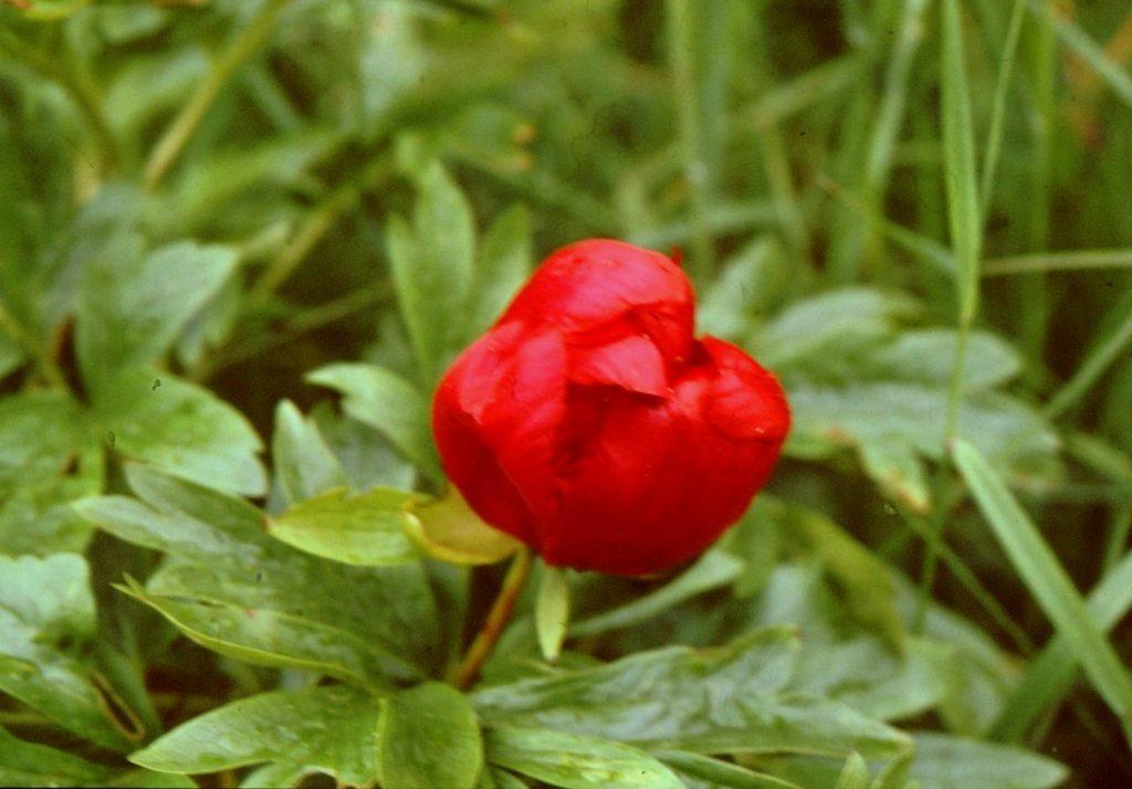15-paeonia-peregrina